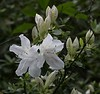 'Festive' Azalea<br /> Images by Martin McKenzie<br /> All Rights Reserved
