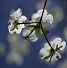 """Dogwoods on St. Patrick Day""<br /> Images by Martin McKenzie<br /> All Rights Reserved"