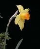 """Juanita"" Long Trumpet Daffodil<br /> Images by Martin McKenzie<br /> All Rights Reserved"