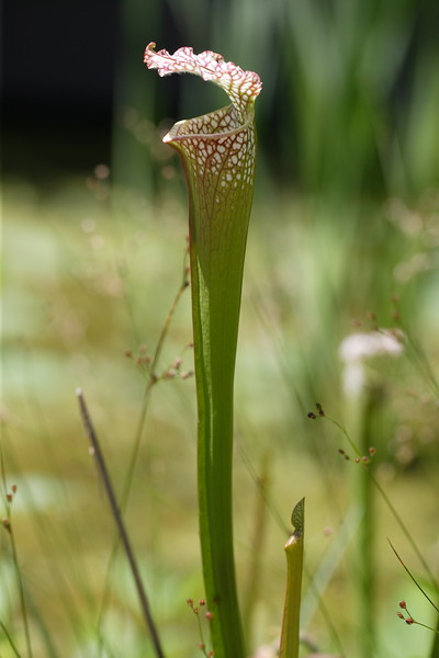 """Trumpet-shaped Pitcher Plants"" (Sarracenia leucophylla)<br /> Images by Martin McKenzie<br /> All Rights Reserved"