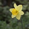 """Daffodil of the Day""<br /> Images by Martin McKenzie<br /> All Rights Reserved"