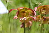 "Carnivorous ""Parrot Pitcher plants"" (Sarracenia Oreophila)<br />  Images by Martin McKenzie<br /> All Rights Reserved"