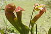 """Hooded Pitcher Plants"" (Sarracenia psittacina)<br /> Images by Martin McKenzie<br /> All Rights Reserved"