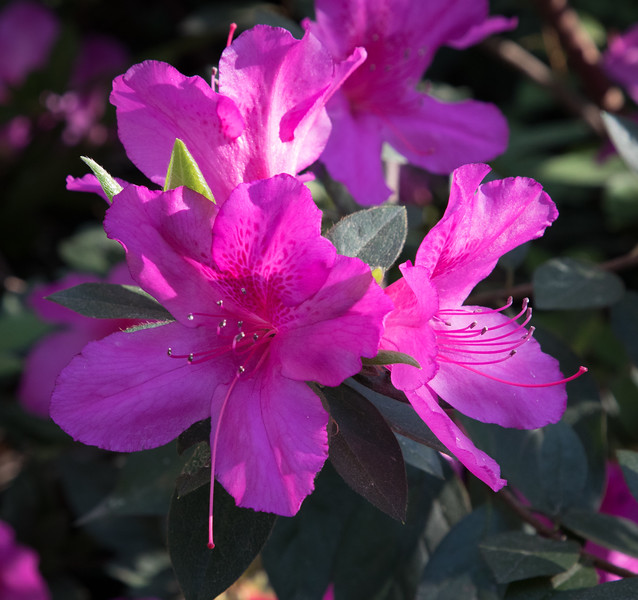 Formosa azalea (Azalea indica Formosa) blooms with its' lavender-pink flowers on a 4- to 8-foot-tall shrub.