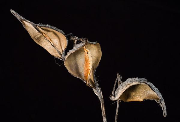 milkweed triptych