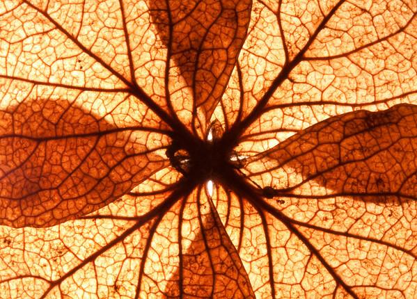 hydrangea, dessicated