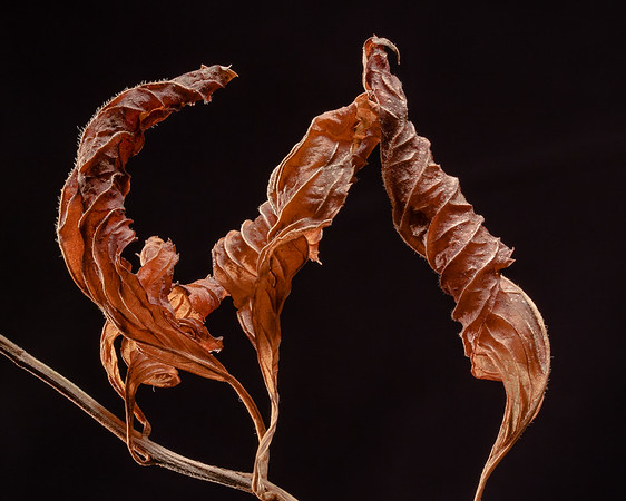 Hydrangea leaves in winter