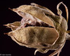 Rose of Sharon seed pod