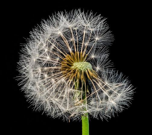 Dandelion shedding seeds