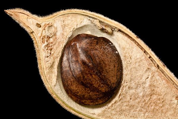 Unidentified seed in husk