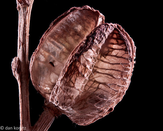 day lily seed pod #2