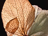 Hydrangea blossoms, dessicated. 5 stacked images