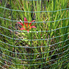 Lilium philadelphicum (wood lily)