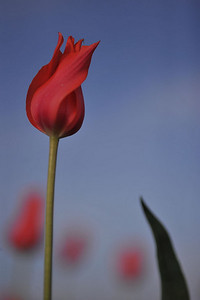 long red tulip 4240800