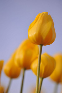 leading yellow tulip 4245800