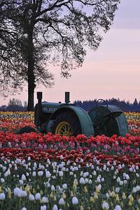 tractor & tree tulips 4217800
