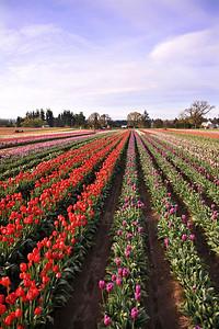 tulip row 4252800