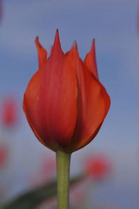 red tulip_4237800
