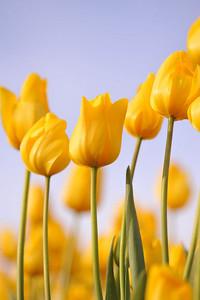 yellwo tulip chorus 4246800