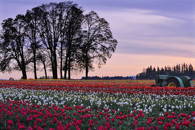 tractor thru the tulips 4213800