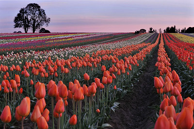 tulip fields forever4172800