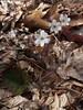 Hepatica americana (liverwort)