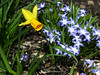 Jonquils and pushkinia  (from bulbs planted near Becky's house)