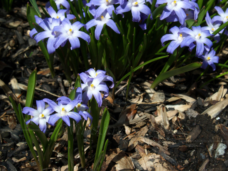 Pushkinia  (bulbs planted by Becky, near her home)