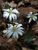 Bloodroot-- also known as Puccoon or Red Puccoon, Indian Paint, Redroot, Pauson and Tetterwort