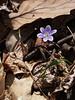 Purple Hepatica (liverwort)