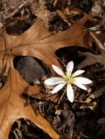 Bloodroot-- Sanguinaria canadensis