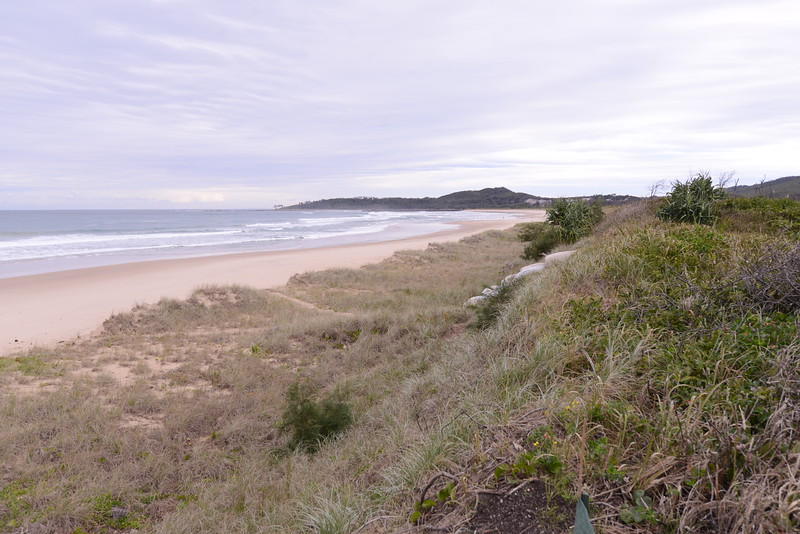 View south.   Note abrupt cut away of fore dune.  Note spontaneous growth of Sheoak.  I think that their fine leaves help disrupt air flow and cause further depositon of blown sand.  The sand stairs also help act as a nidus for sand aggregation.  The beach is currently, end November, broader and with low low tides assocated with the perigee moon would be an ideal time to get in and scrape up sand.  Jones Beach to the south is growing sea ward as it builds up south of the breakwater.