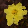 Hibbertia linearis var obtusifolia