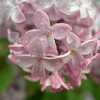 Close-up of rainy lilacs