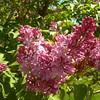 Bursting lilac buds