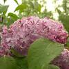 Rain soaked lilac