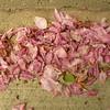 Fallen crab apple blossoms