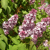 Blooming lilac