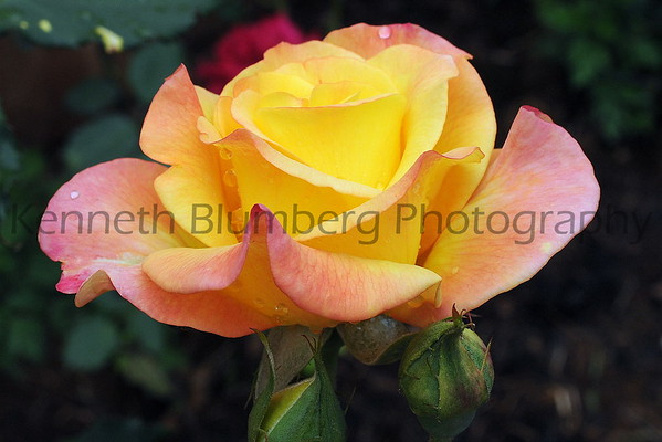 YELLOW MIXED ROSES