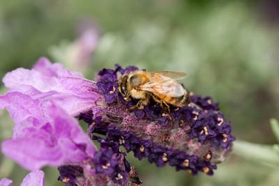 Honeybee on Lavender