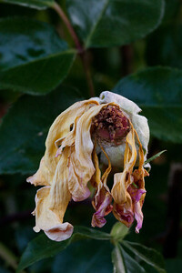 Yellow rose hip still clinging to its fading petals