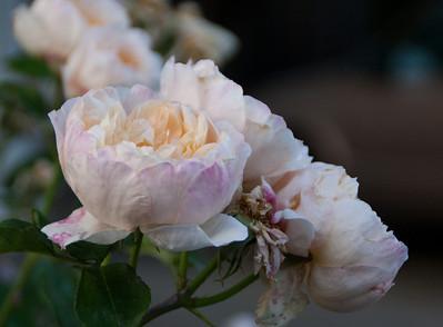 Pale orange/pink rose