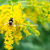 Bees on the Goldenrod