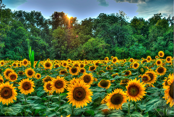 Yellow Springs, Ohio Sunflowers
