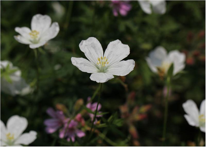 Geranium sanguineum 'Alba'