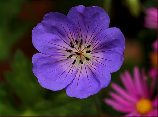 Geranium 'Jolly Bee'
