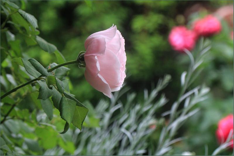 Rose 'Nahema'