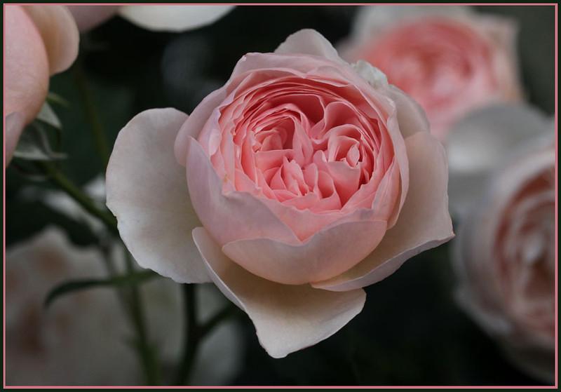 Rose 'Heritage'