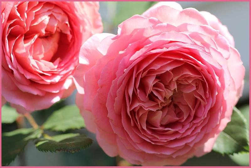 Rose 'Jubilee Celebration'