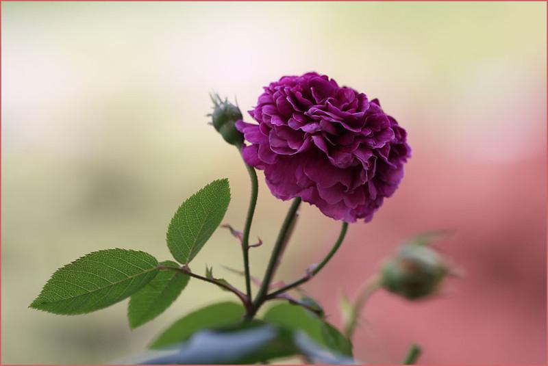Rose 'Shigyoku'
